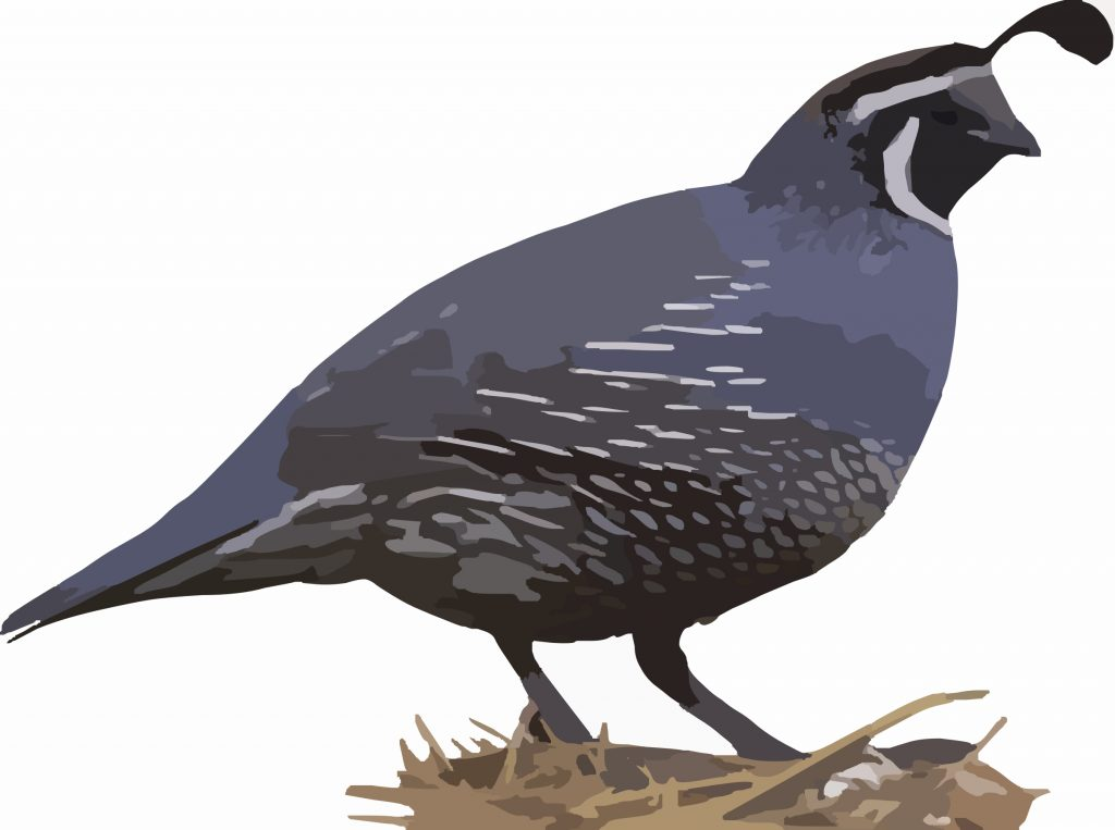 california quail animal silhouette free clipart images quail