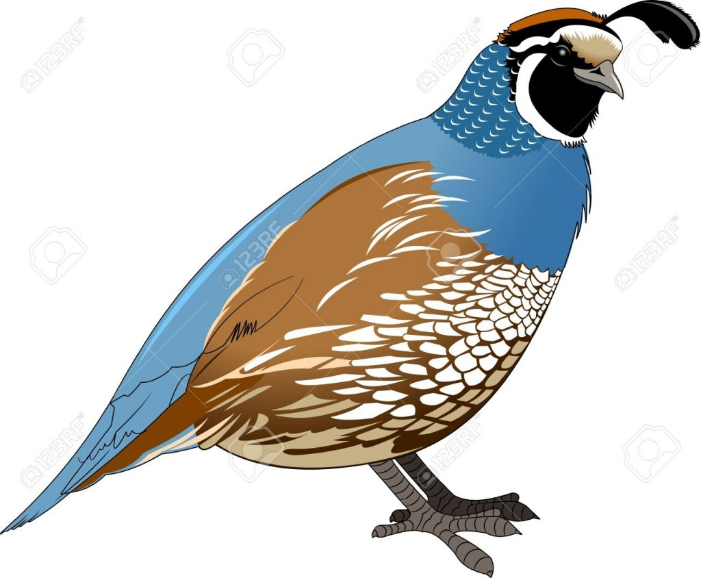 cartoon quail vector illustration with simple gradients