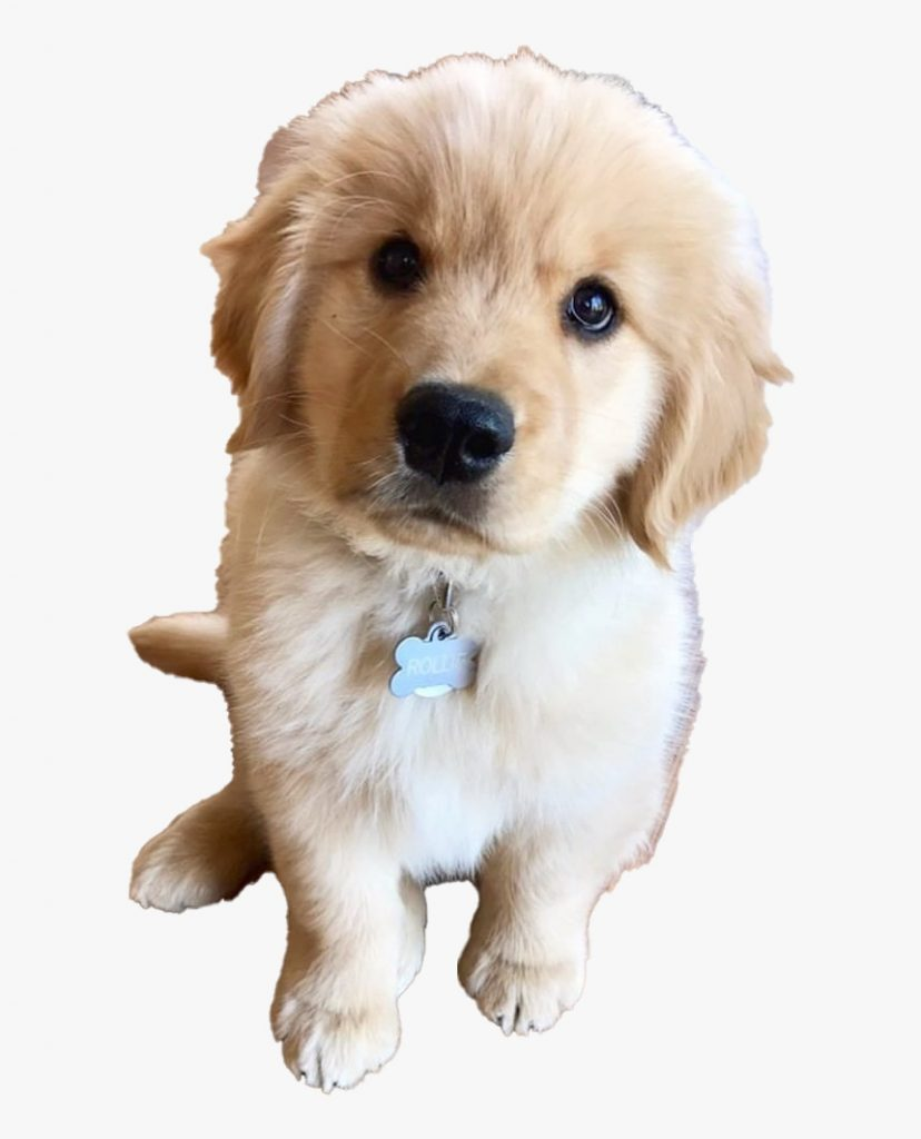 golden retriever puppy png clipart cute golden retriever