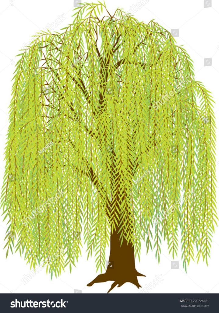 show me the picture of a willow tree willow tree stock