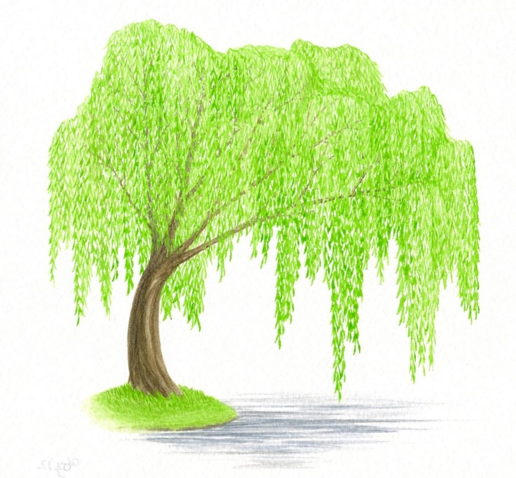top tree clipart clipground willow drawing