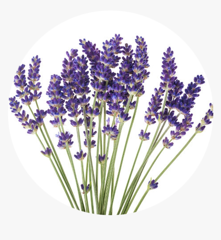 transparent essential oils clipart lavender flower white