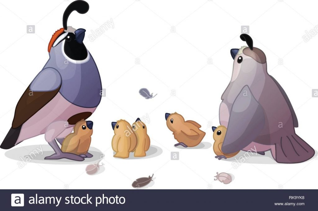 vector cartoon animal clipart california quails stock