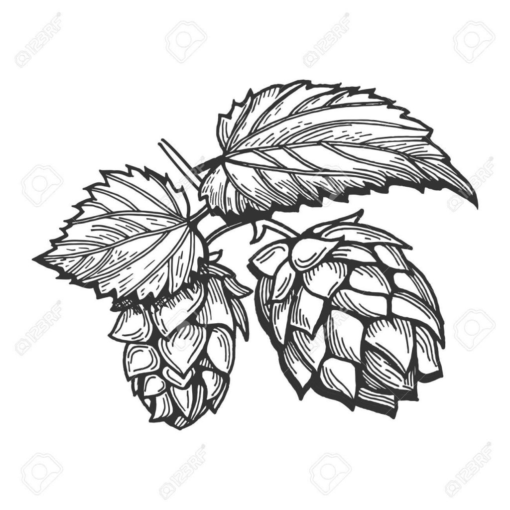 vector illustration of a hops with leaves branch hand drawn