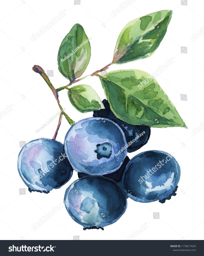 watercolor illustration blueberries clipart stock